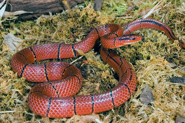 Маисовый полоз или красная крысиная змея