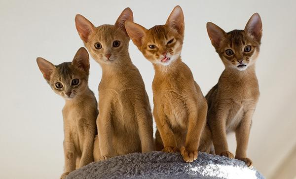 Советы по приобретению абиссинской кошки
