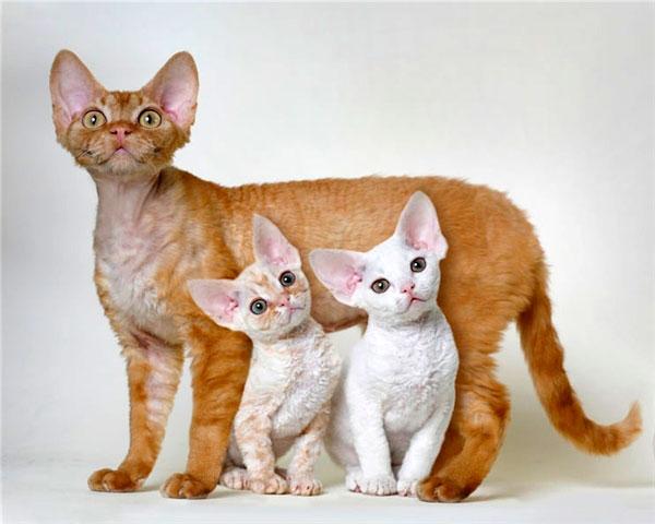 Котёнок породы девон рекс с хорошей родословной и с документами будет стоить около 40000 рублей