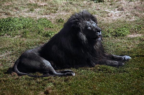 Теоретически черный лев может родится, меланизм - это процесс адаптации