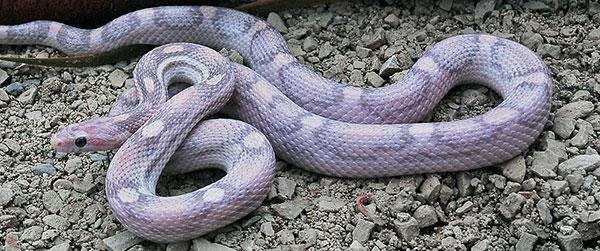 Морф маисового полоза Lavender