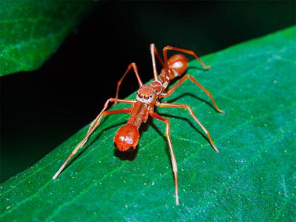 Муравьиный паук-скакун великолепно имитирует внешний вид муравья