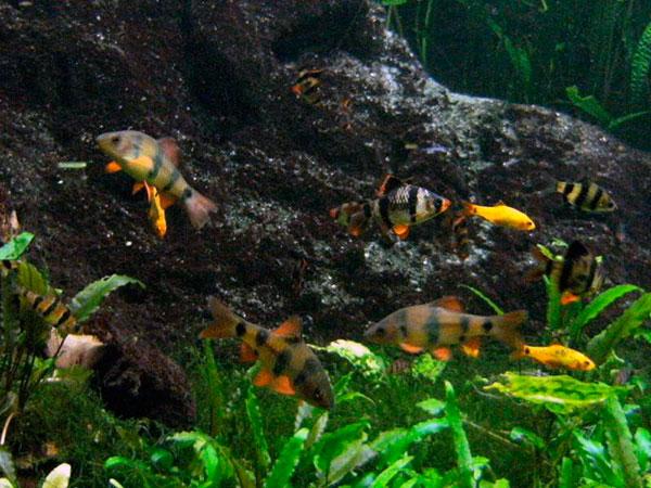 Ареал обитания барбуса принято считать Суматру и остров Борнео