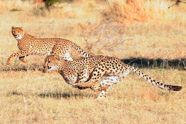 Самцы гепардов могут объединяться и в своеобразные коалиции