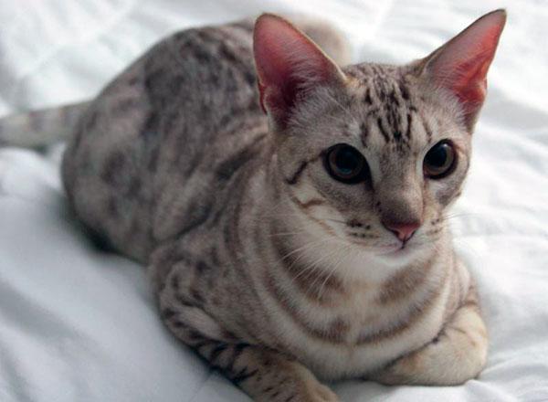 кошка оцикеты - джунгала