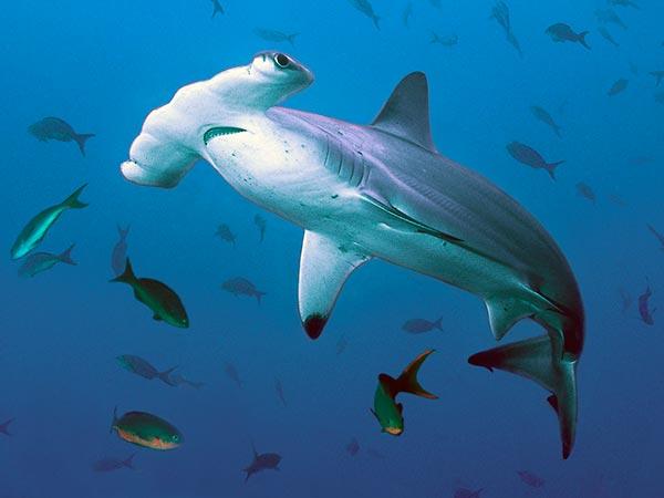 Форма головы помогает акуле-молоту сохранять равновесие при резких разворотах