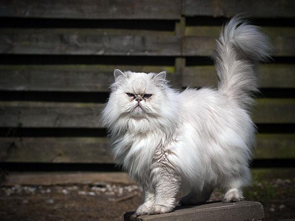Заводчики признают только три внутрипородных разновидности персидских кошек