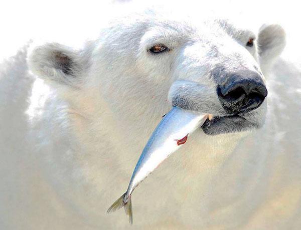 При наличие достаточного количества еды - полярные белые медведи, достаточно избирательны
