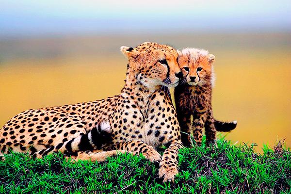 Самка гепарда находит своих котят в густой растительности, ориентируясь на гриву и хвостовую кисточку
