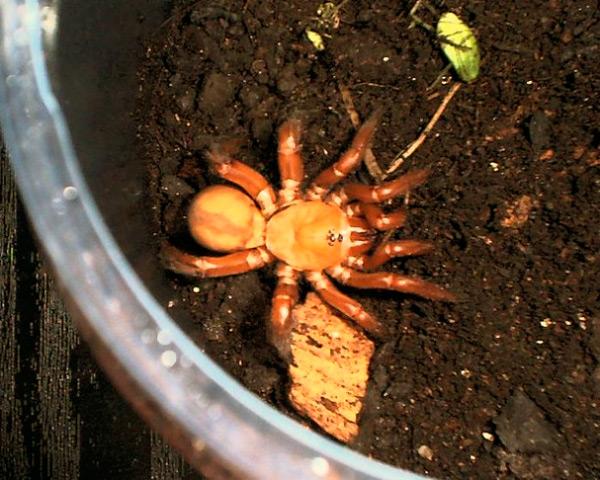Ктенизидам нужно выделить вместительный и глубокий террариум, наполненный грунтом, что позволит пауку сделать себе жилище