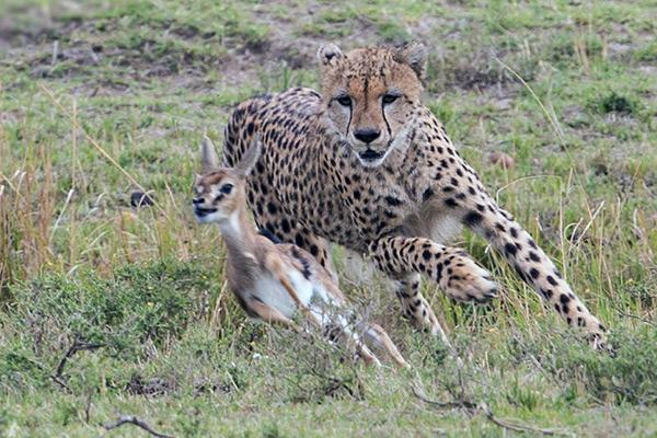Пищей для гепарда обычно служат не большиые копытные животные