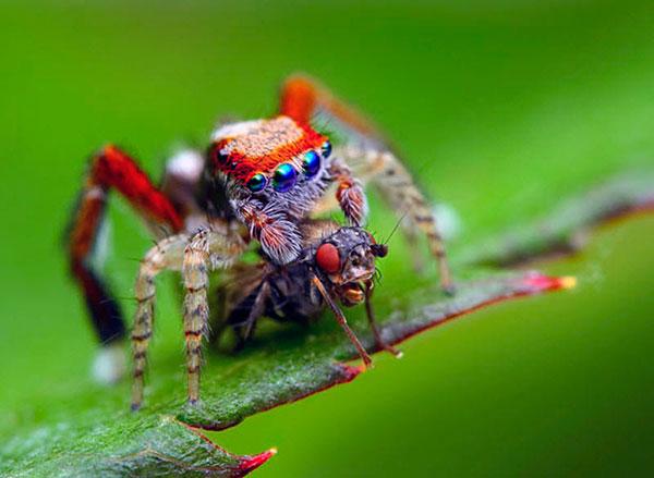 Пауки-скакуны питаются не слишком крупными насекомыми