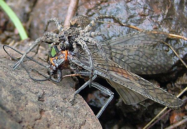 Питаются пауки-волки некрупными насекомыми
