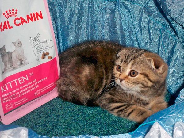 При выборе корма для шотландской вислоухой кошки необходимо остановиться на супер премиум класса или на кормах с маркировкой холистик