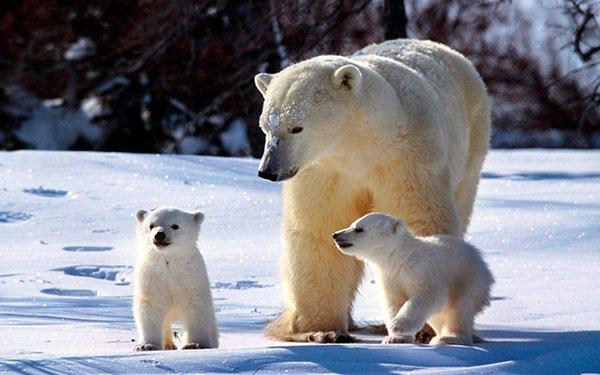 Медведица начинает постепенно выводить своих медвежат на прогулку, как только они подрастут