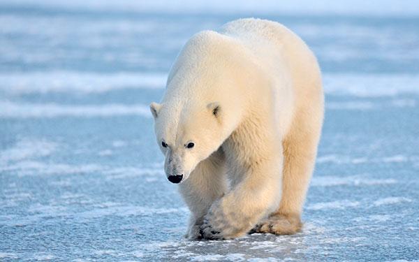 Полярный белый медведь - вымирающий вид
