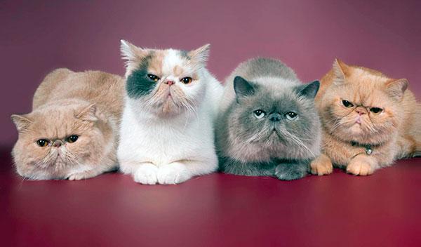 Популярные окрасы персидской кошки