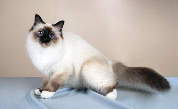 Породы кошек: Бирманская кошка