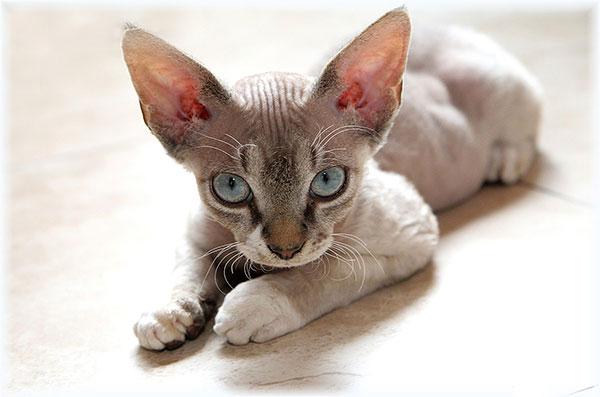 Породы кошек: Девон-рекс