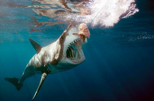 Хорошие умственные способности помогают белой акуле практически везде найти пищу