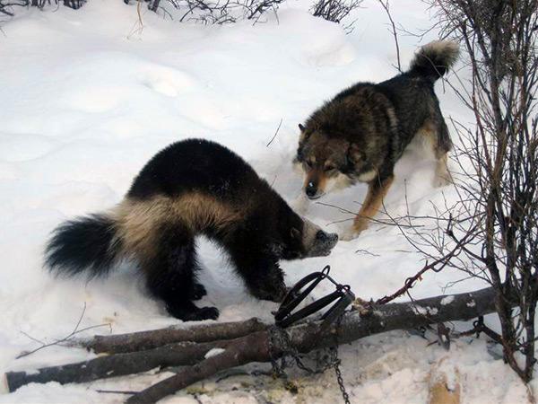 Природные враги росомахи - волк