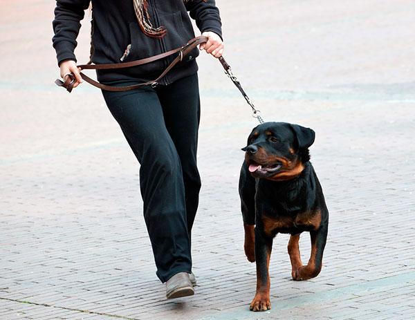 Если ротвейлер содержиться в квартире, то прогулки должны быть регулярными и продолжительными