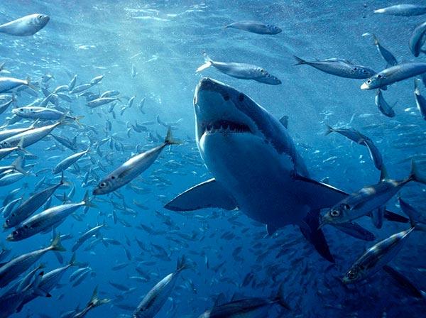 Для успешной охоты белые акулы используют своеобразный окрас тела