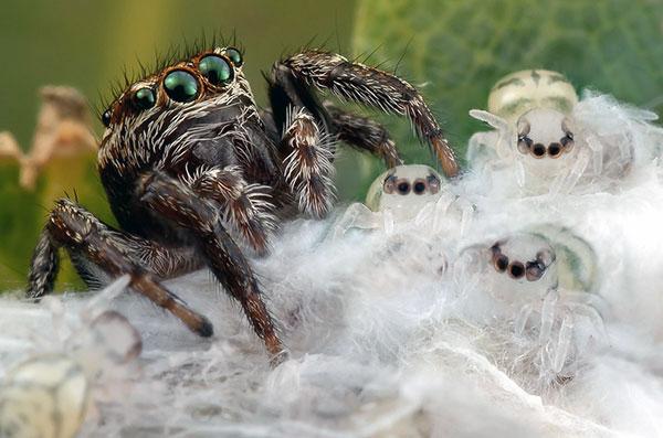Появившиеся маленькие паучки полностью предоставлены заботе самки