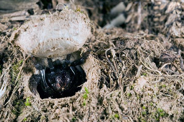 Готовая норка выстилается изнутри паутиной, а вход закрывается специальной крышечкой
