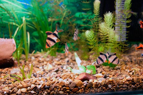 Суматранские барбусы относятся к всеядным аквариумным рыбам