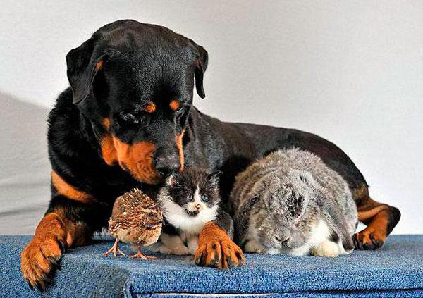 Характер ротвейлера напрямую будет зависит от воспитания, которое нужно начинать сразу же после приобретения щенка