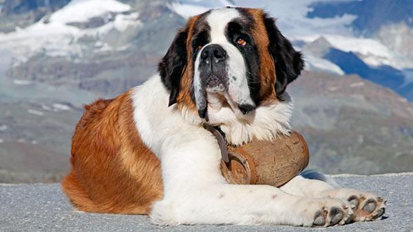 Сенбернар мощная, мускулистая и очень крепкая собака с длинным шерстяным покровом