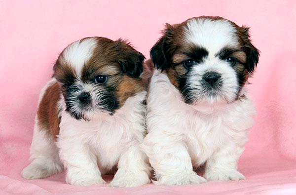 Купить собаку породы Ши-тцу