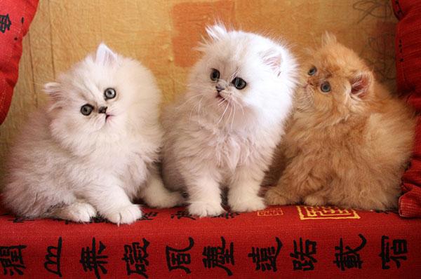 Желательно, чтобы при покупки персидской кошки возраст котёнка был два месяца и более