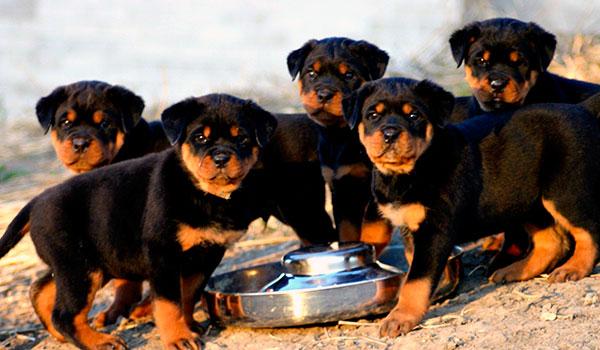 Средняя стоимость чистопородного щенка ротвейлера, пригодного для участия в выставках и разведения, начинается с пятидесяти тысяч рублей