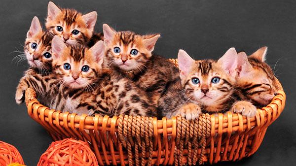 Цены на бенгальских кошек достаточно высокие