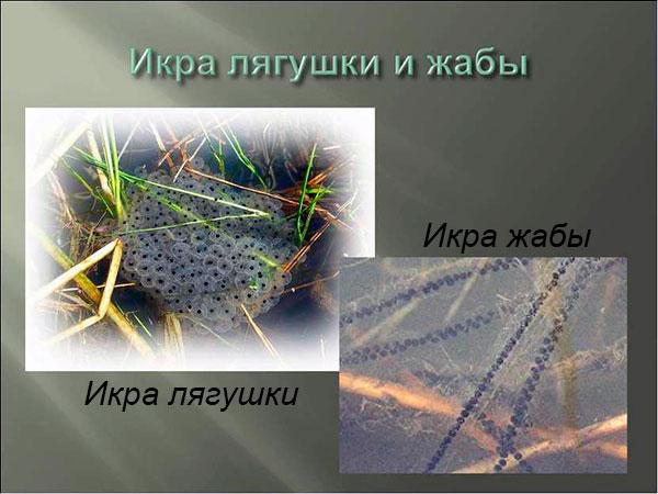 Сравнение способов размножения у жаб и лягушек