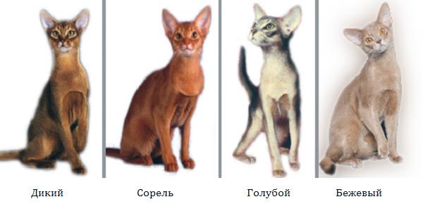 Стандарты окраса у абиссинской кошки