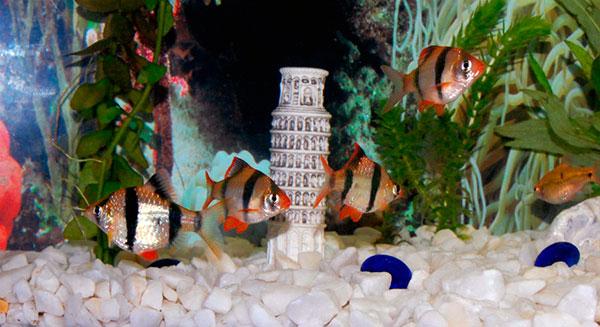 Требования к аквариуму для барбуса примерно сто литров чистой воды