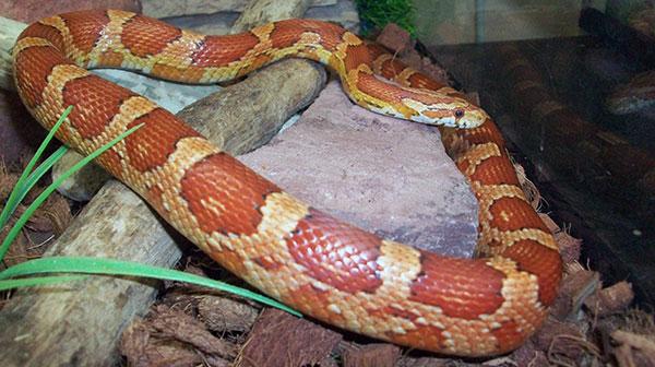 Террариум для красной крысиной змеи необходимо подбирать исходя из размеров рептилии