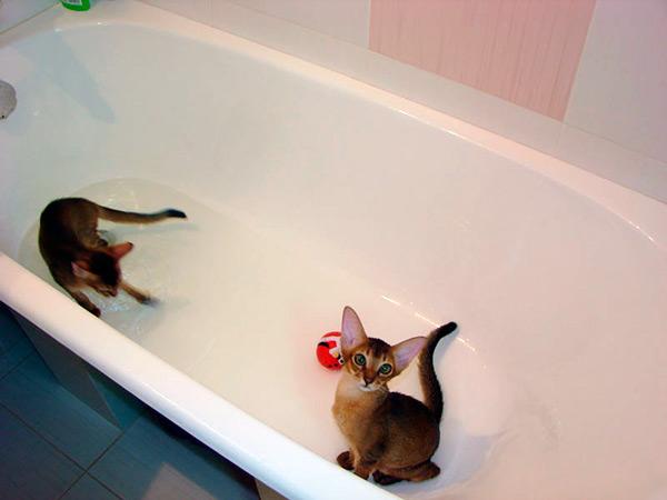 Абиссинская кошка очень быстро и легко приучается к купанию