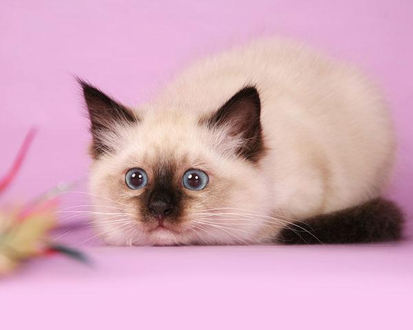 Котята бирманская кошки очень любопытные, активные и игривые создания