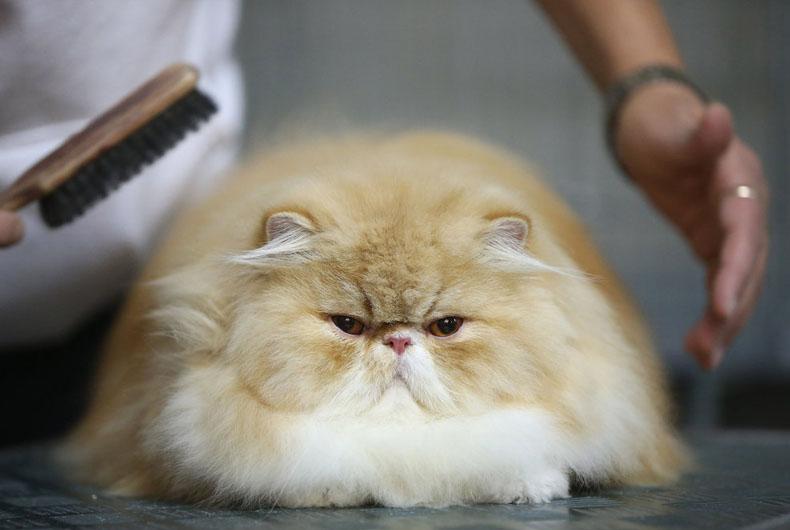 Пышная шерсть у персидской кошки нуждается в ежедневном и правильном уходе