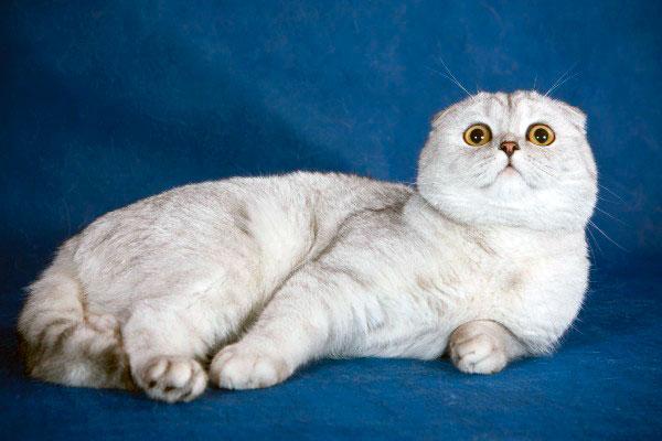 Шотландская вислоухая кошка была завезена в Россию в начале 90-х