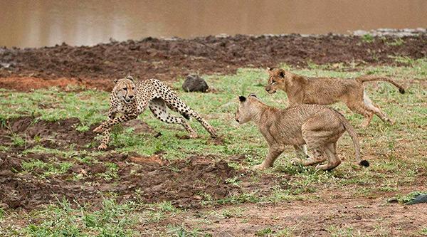Львы - природные враги гепардов