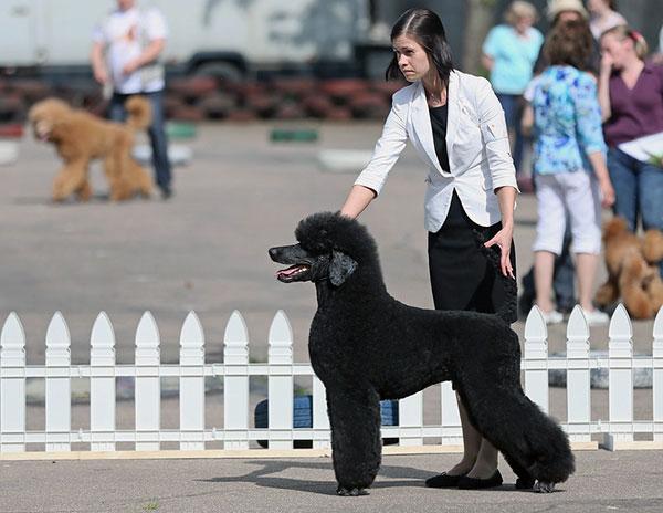 Выставка собак - Veteran-класс