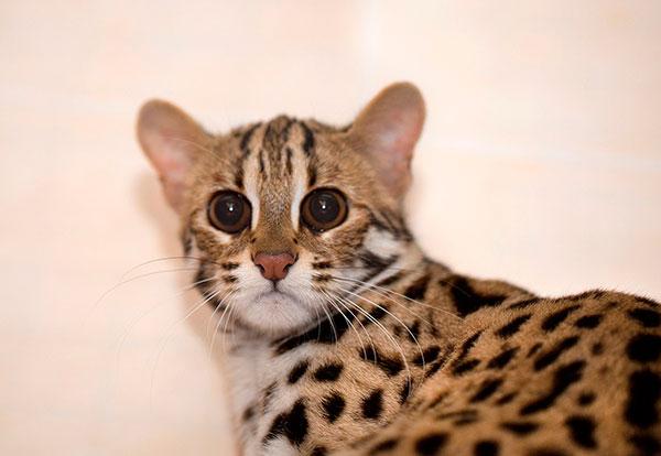 Бенгальские кошки очень плохо переносят разлуку с хозяином на длительный срок - не злоупотребляйте доверием своего питомца