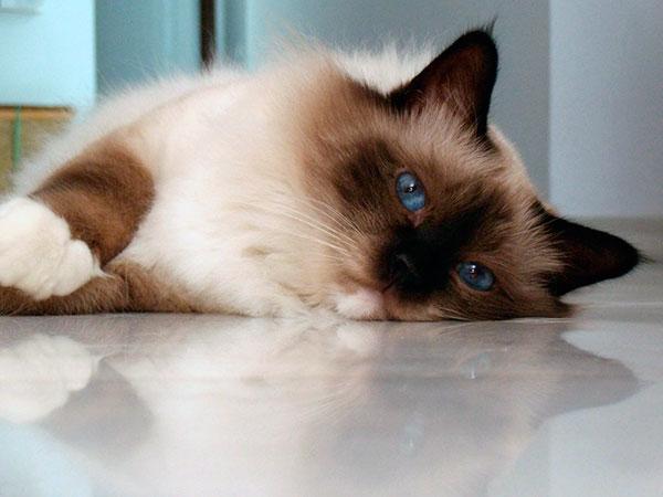 Бирманские кошки славятся своим крепким здоровьем
