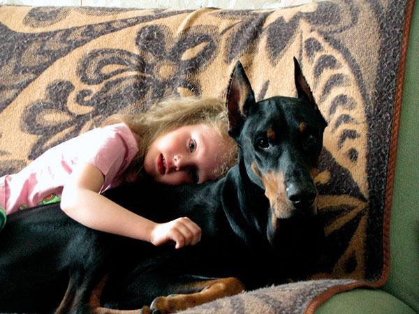 При правильной дрессировки доберманы добродушно относятся к детям и другим питомцам в доме