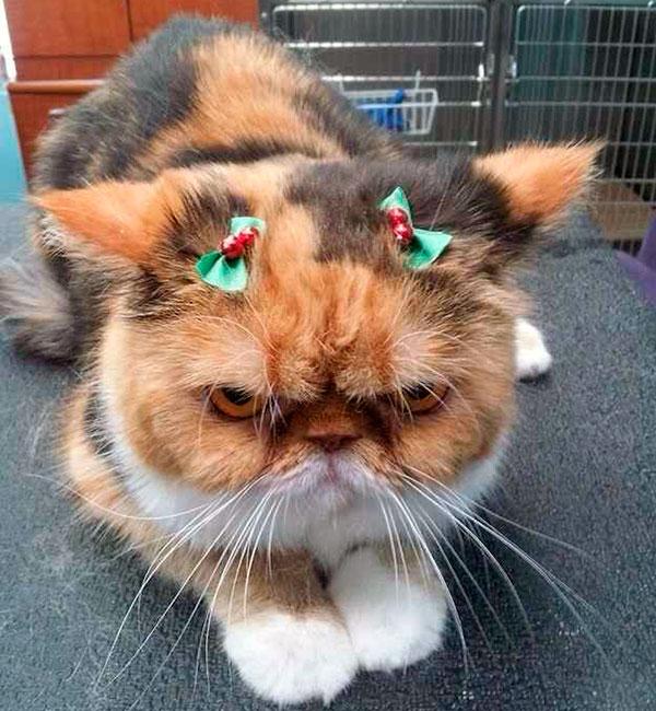 Персидские кошки любят очень плохо переносят одиночество